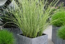 grasses in containers