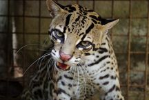 Ocelote / El ocelote es un elegante animal nocturno con un abrigo moteado. Debido a su piel fina, son objeto de  caza y actualmente se encuentran en peligro de extinción en algunas partes del mundo. The ocelot is a sleek nocturnal animal with a dappled coat. Because of their fine fur they get hunted and are endangered in some parts of the world.
