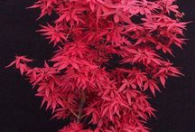Japanese maple bed