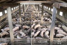 Farm - Issues / Farm Animal Issues