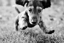 Doxies / by Jessica Burgess-Johnson