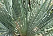 Palms / A selection of beautiful palms available at our Nursery in Hooe,  East Sussex