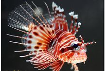 Our Lions and Scorps / All things sting, at Lionfish Lair. These are some of the critters that we have or had along the way.