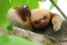 Leniwiec (sloth)