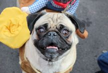 Beggin' Pet Parade at St. Louis Mardi Gras / The Mystical Krewe of Barkus parade. The largest gathering of costumed pets in the world!  / by This Pug Life