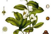 botânico & ilustração científica