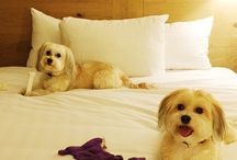 #PetsofHyatt / We are happy to welcome your traveling canine companions at participating Hyatt hotels and resorts with our pet program.   Check out the cutest pics of our guest's pets and post yours using #PetsofHyatt to be shared on our Social channels!