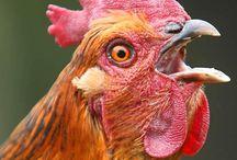 Chickens!!!!!!