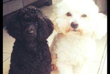 Daniel &Dickson (bichon &poodle)