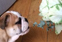 Bacchus / English bulldog