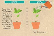 Plantar aguacate