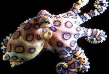 Cephalopods / Octopi, squids, and all other amazing cephalopods!  / by Shanna Germain