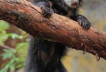 sloth bear cub n more