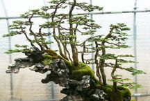 Bonsai On The Rock