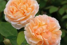 ***AUSTIN Roses*** / by Carol Austin