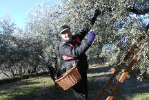 Olive harvest / Olive harvest December 2013 in Piegon, Drome Provençale, near Nyons