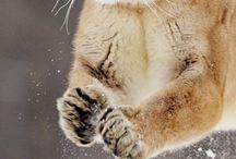 Kočkoidní šelmy❤
