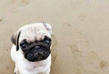 the cutest dogs PUGS!