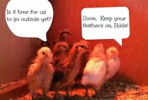 I Want Me Some Chickens / Ideas for raising chickens, home feed, and coops