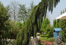 Sequoidendron pendulum