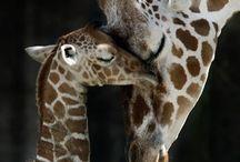 Animals | Giraffes / Giraffe of all kinds
