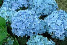 Blumen / Hortensien