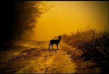 Wild British Deer