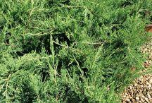 Juniperus Horizontalis Green