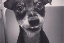 Miniature pinscher / Smile, please!