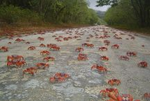 Red crab migration / As the red crab migration nears we've dedicated a board to this fantastic natural phenomenon. We'll keep you updated with pics from the island, and please share yours. We'd love to see them and share them with the world! / by Parks Australia