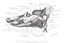 Greyhounds anatomy