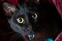 Black Cat / Black Cats