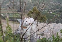 Shiba inu White / Shiba inu  il suo nome è WHITEE