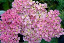 variétés de fleurs (achillée, penstemon ...)