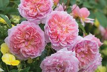 Rose rose rose