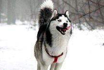 Huskey...Pets