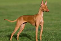 Anchient Egyptian Royal Dog Breed.