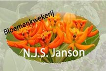 N.J.S. Janson / Janson nursery has cultivated the finest and most innovative products for many years now. As an Asclepia breeder Janson can even boast the introduction of the dazzling Asclepia Beatrix. Besides these Asclepia other striking cultivars have first seen the light of day at this company.