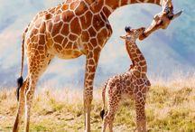 Yup. Giraffes.