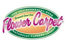 Flower Carpet Ground Cover Roses
