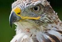 Rovfugle / Ørne Musvåger Glenter Falke