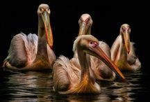 Pelikánok / #pelikán #pelican