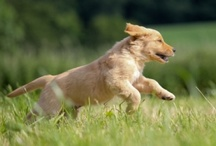 "Golden Retrievers ♥ / A celebration of ""America's Dog!""  / by PetCareRx"