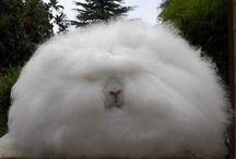 Angora králík