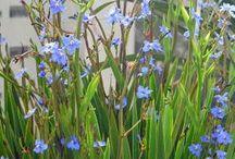 moreia azul