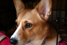 Only Corgis / by Kate Hickerson