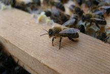 honey bees close up / inside the hive
