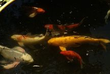 Koi / Koi are a great addition to any Koi Pond or water garden. Sunland Water Gardens has the best selections of Japanese imported Koi as well as top grade domestic Koi. If you have any questions about Koi and other pond related issues call Sunland Water Gardens at 818 3535131