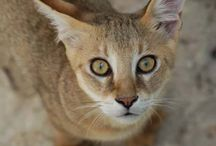 Chausie ... new breed