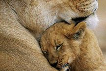 lioness mom and lion dad with their baby